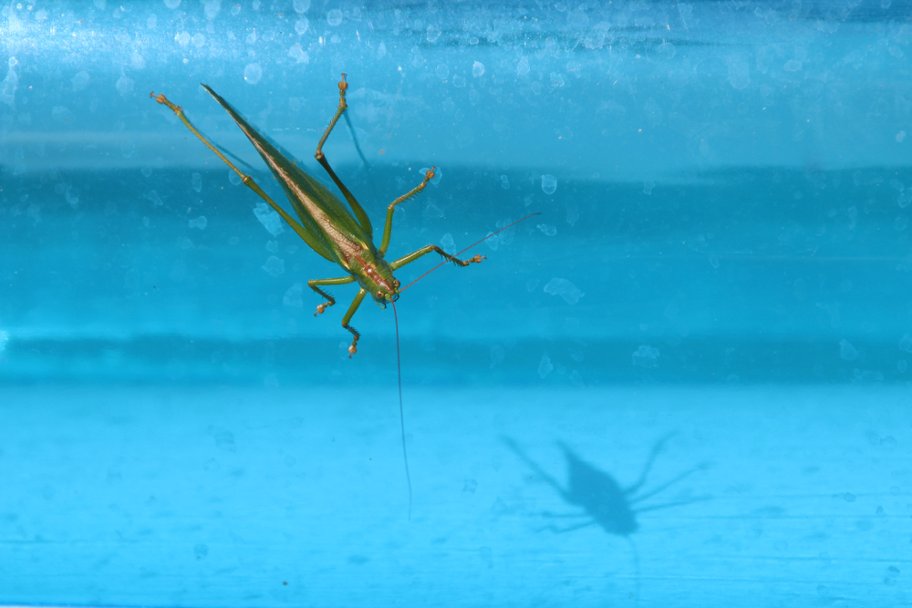 green grasshopper on blue pool water background
